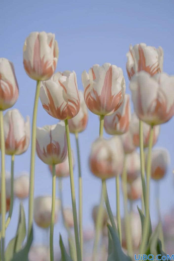 植物调色,调出温柔唯美的郁金香照片